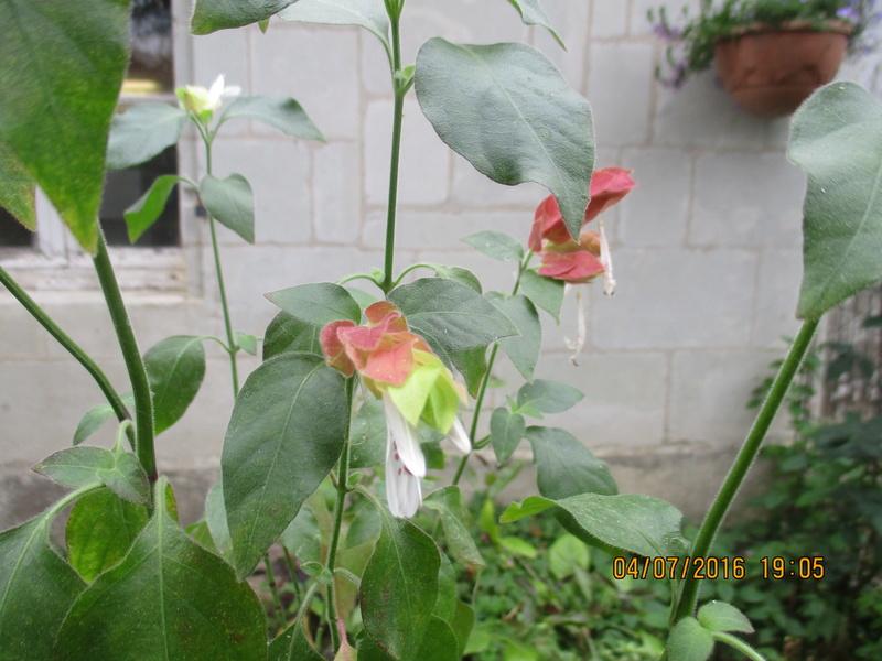 Belopérone ou plante crevette - Page 2 Img_0229
