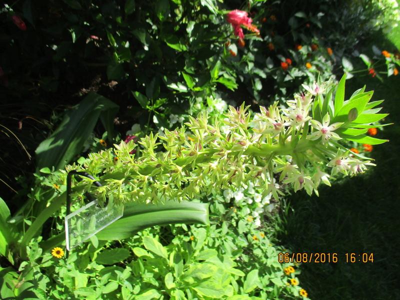 Bulbes de Fleur d'Ananas (Eucomis bicolor) - Page 2 Img_0832
