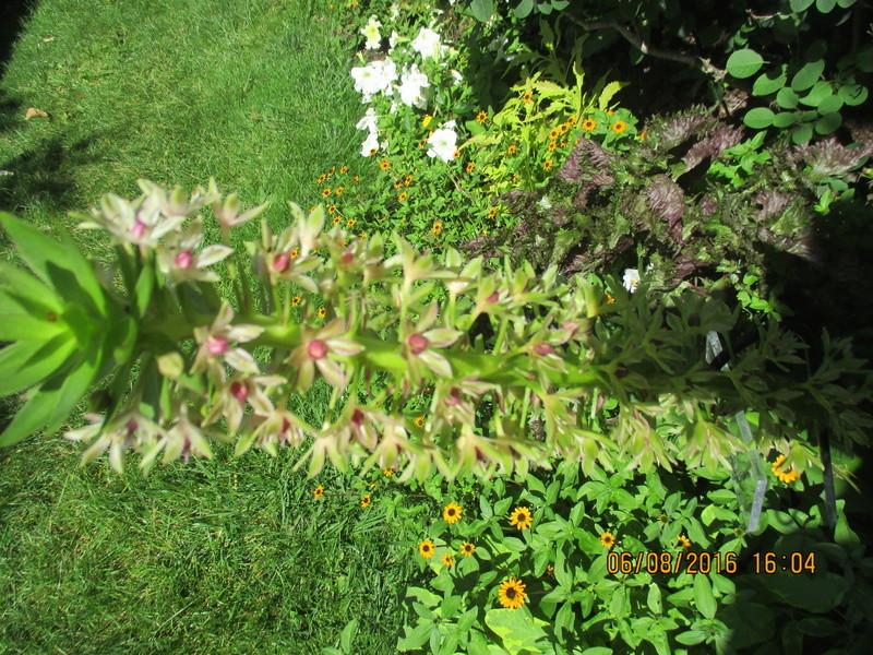 Bulbes de Fleur d'Ananas (Eucomis bicolor) - Page 2 Img_0833