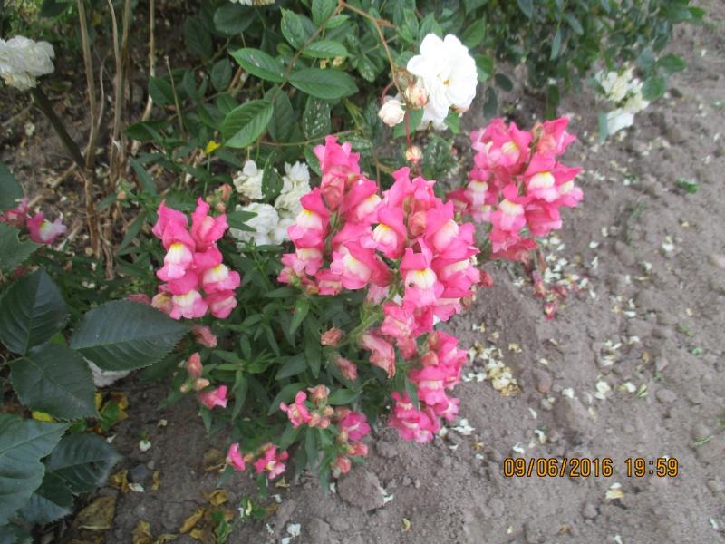 Antirrhinum majus, ou Muflier demi-nain majestic Img_0949