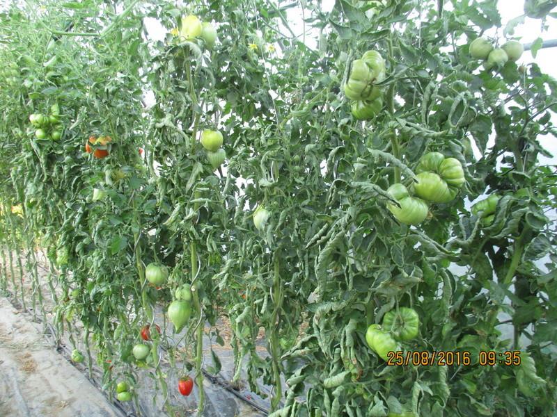 Tomates - Page 37 Img_1128