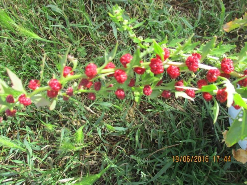 Epinard-fraise  Img_1332