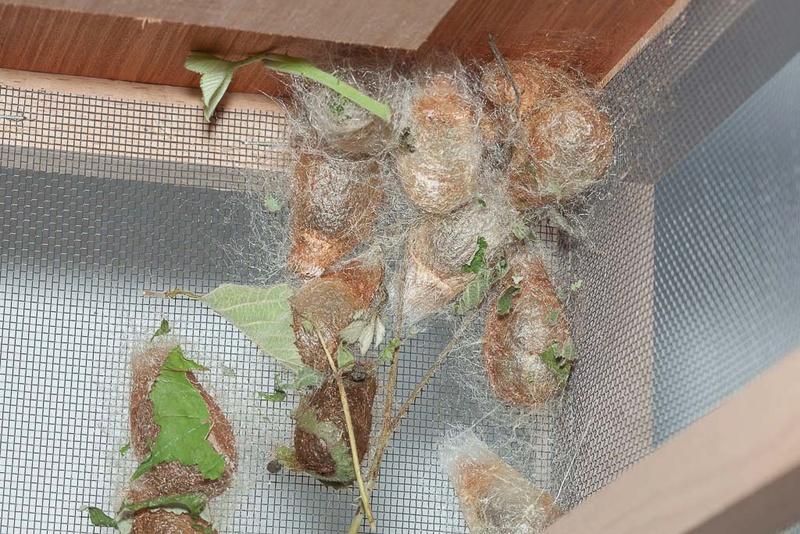 Oeufs de Saturnia pavonia - Page 3 Petit_14