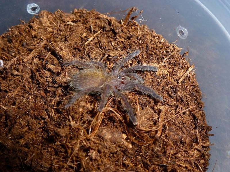 Pterinochylus murinus DCF Muridc11