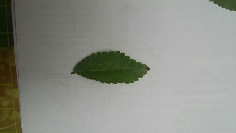 Black Edges Leaf Ulmus. 20160811