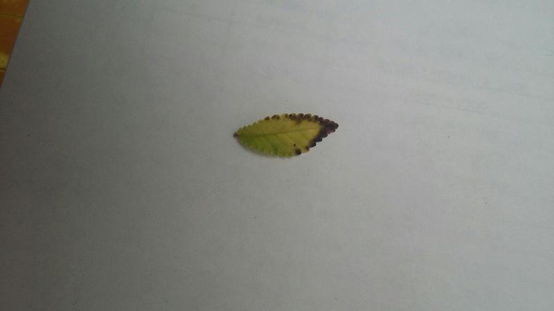 Black Edges Leaf Ulmus. 20160812