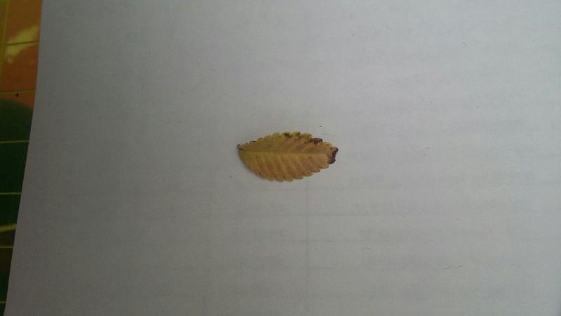 Black Edges Leaf Ulmus. 20160813