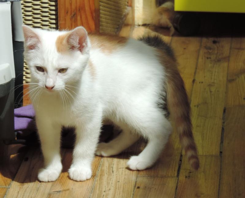 mozart - Mozart, chaton blanc et roux né le 23/03/2016 Dscn4815