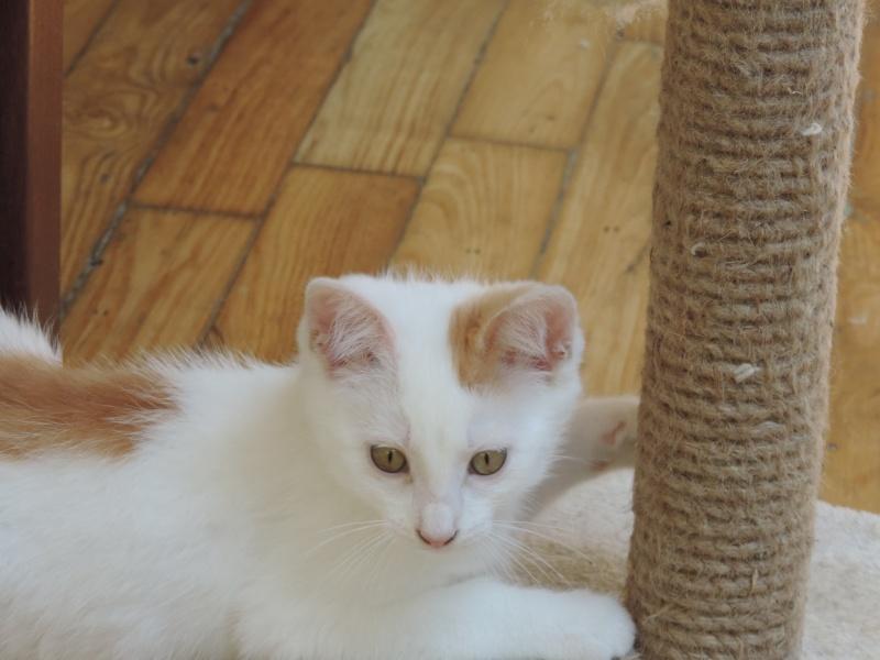 mozart - Mozart, chaton blanc et roux né le 23/03/2016 Dscn4818