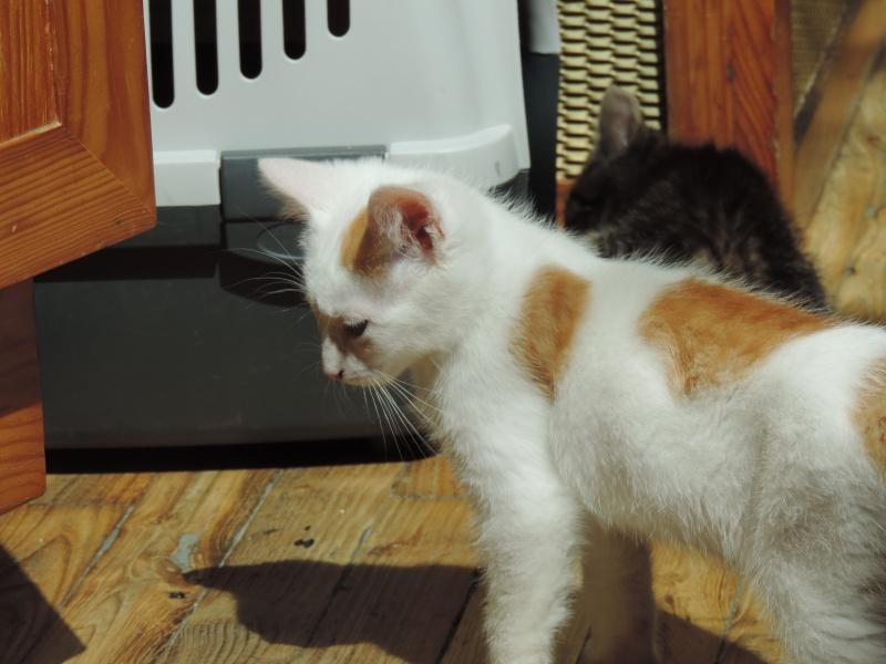 mozart - Mozart, chaton blanc et roux né le 23/03/2016 Dscn4820