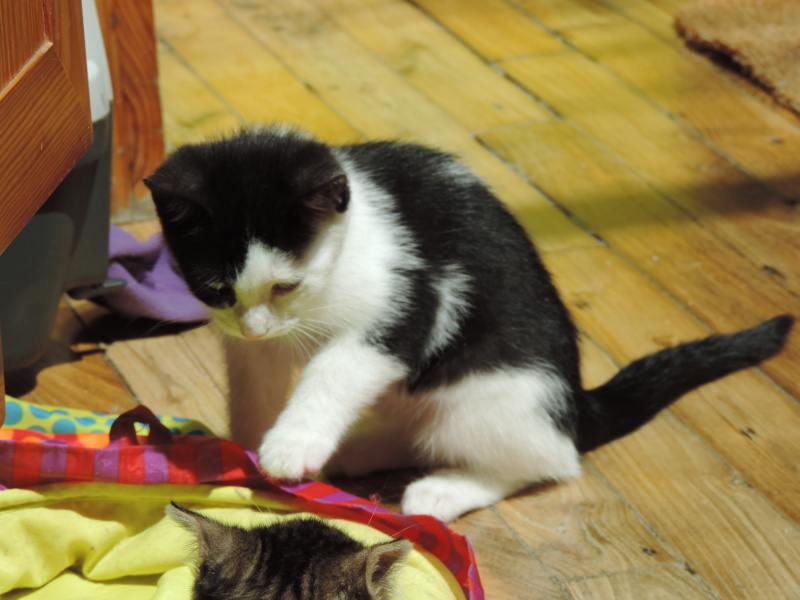 missy - Missy, petite chatonne blanche et noire née le 25/03/2016 Dscn4829