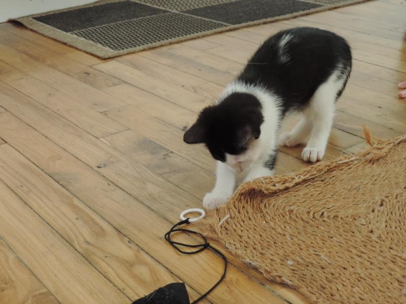 missy - Missy, petite chatonne blanche et noire née le 25/03/2016 Dscn4830