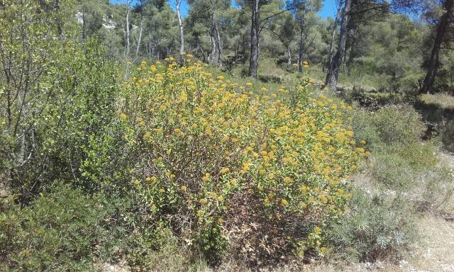 Bupleurum fruticosum - buplèvre arbustif Rps20104