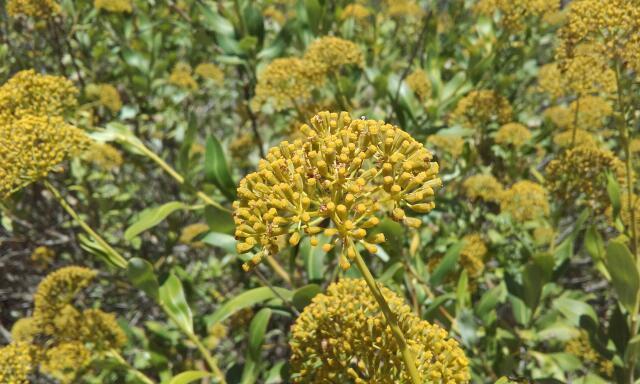 Bupleurum fruticosum - buplèvre arbustif Rps20106