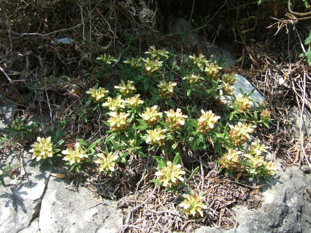 Teucrium montanum - germandrée des montagnes  Rps20141