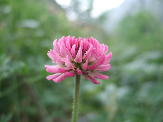 Trifolium medium - trèfle flexueux Rps20147