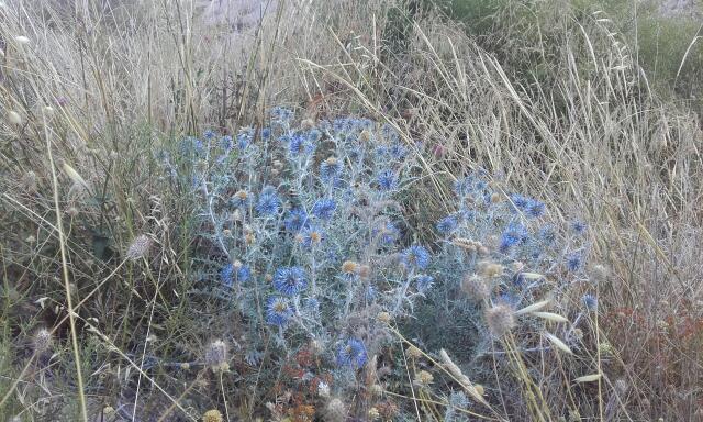 Echinops ritro - azurite, oursin bleu Rps20173