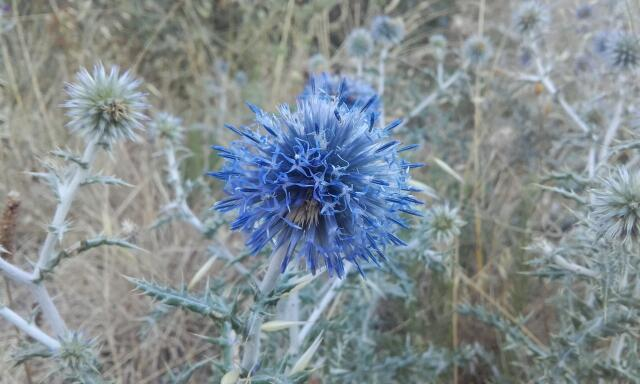 Echinops ritro - azurite, oursin bleu Rps20174