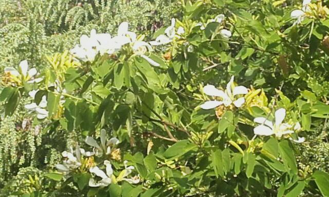 Bauhinia grandiflora Rps20178