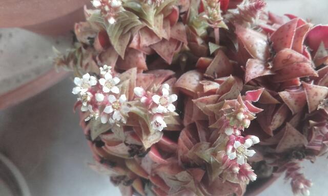 Crassula exilis subsp. picturata Rps20186
