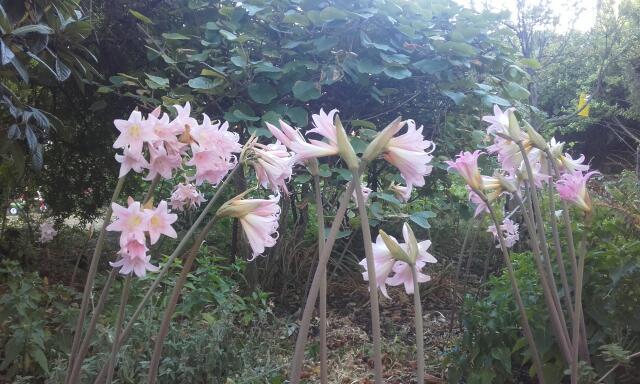 Amaryllis belladona - Page 2 Rps20206