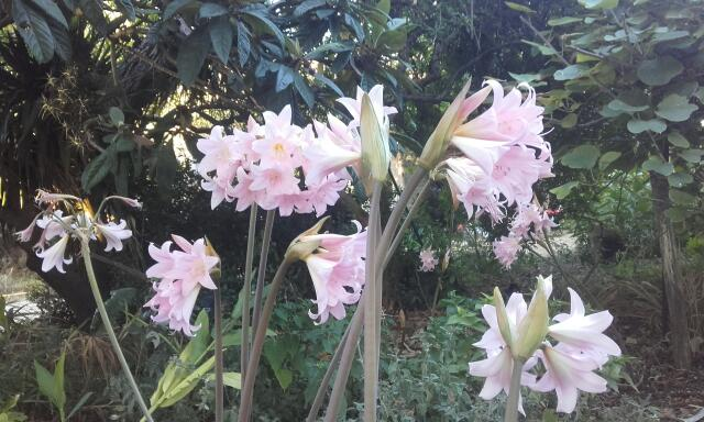 Amaryllis belladona - Page 2 Rps20207