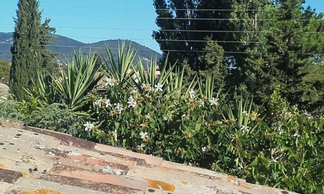 Bauhinia grandiflora Rps20208