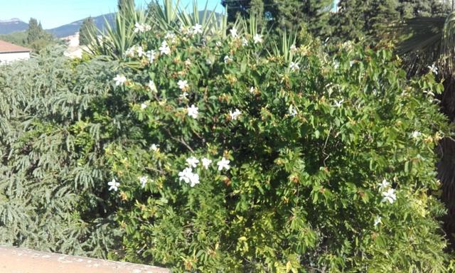 Bauhinia grandiflora Rps20209