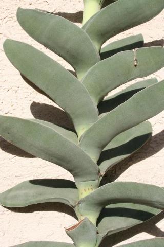Crassula perfoliata var. falcata (= C. perfoliata var. minor = C. falcata) 565_6519