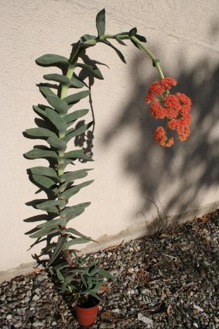 Crassula perfoliata var. falcata (= C. perfoliata var. minor = C. falcata) 565_6520