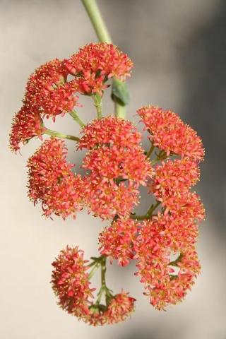 Crassula perfoliata var. falcata (= C. perfoliata var. minor = C. falcata) 565_6521