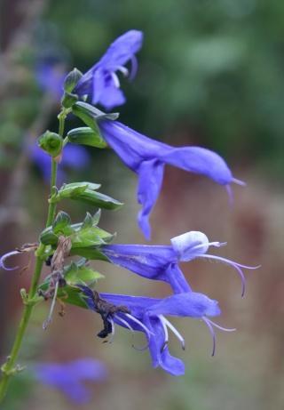 Salvia - les floraisons du moment 566_6611