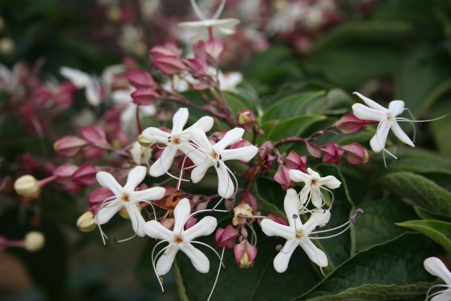 Clerodendrum trichotomum 567_6731