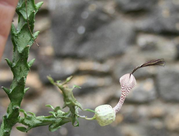 Ceropegia simoneae Copie_17