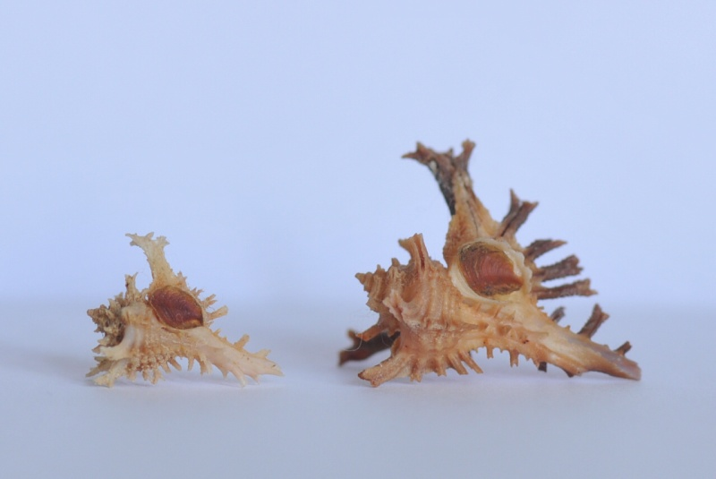Favartia bojadorensis - (Locard, 1897) Dsc_3929