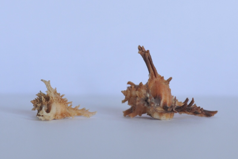 Favartia bojadorensis - (Locard, 1897) Dsc_3930