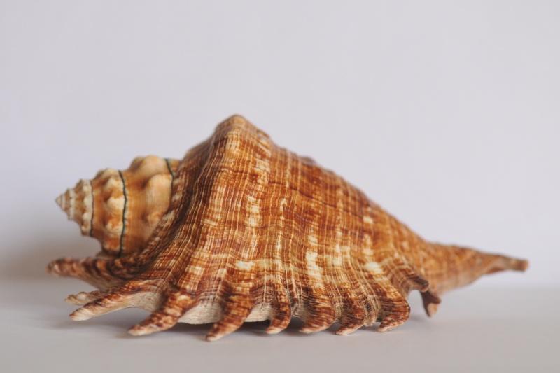 Lambis millepeda - (Linnaeus, 1758) Dsc_3937