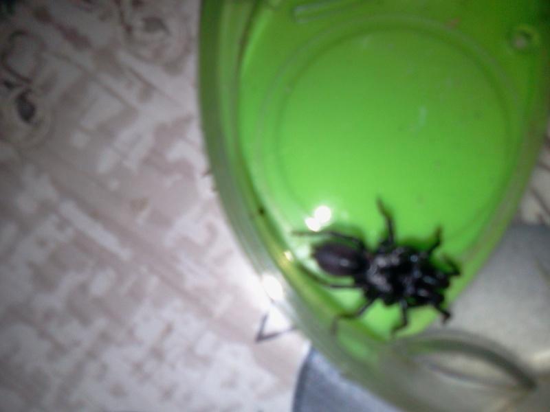 identificationde cette araignée (Meuse) 2013-011