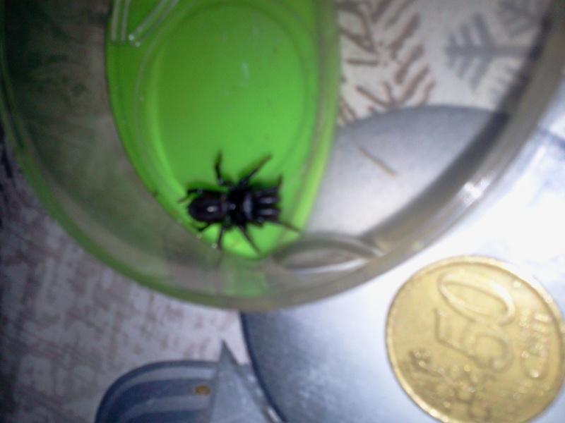 identificationde cette araignée (Meuse) 2013-012