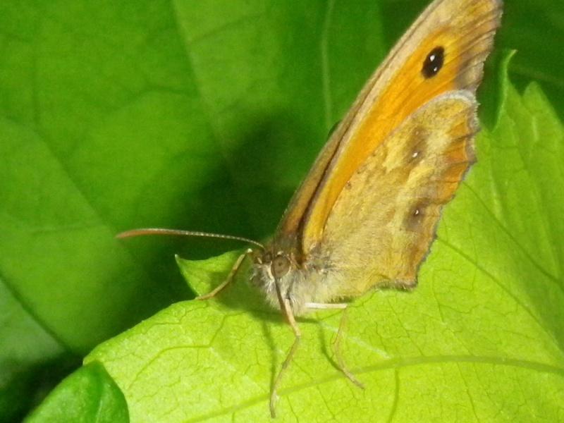 [Pyronia tithonus](Nymphalidae Satyrinae)Un amaryllis ? Imgp7214