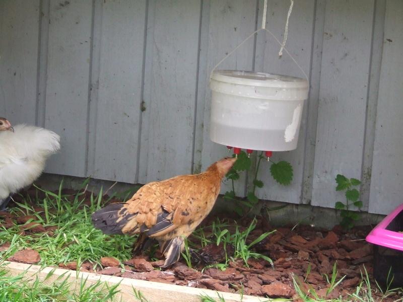 Abreuvoirs pour poules Dscf5515