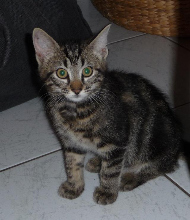 IPSOS, chat type européen, né vers le 15/04/13 en don libre 25_07_15