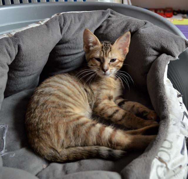 margotte - MARGOTTE, chatonne tigrée et rousse, née le 05.04.16 Dsc_0013