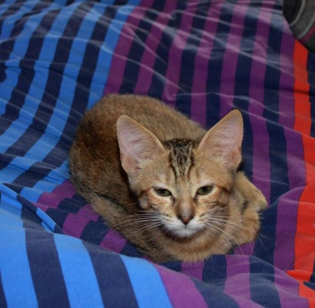 margotte - MARGOTTE, chatonne tigrée et rousse, née le 05.04.16 Dsc_0014