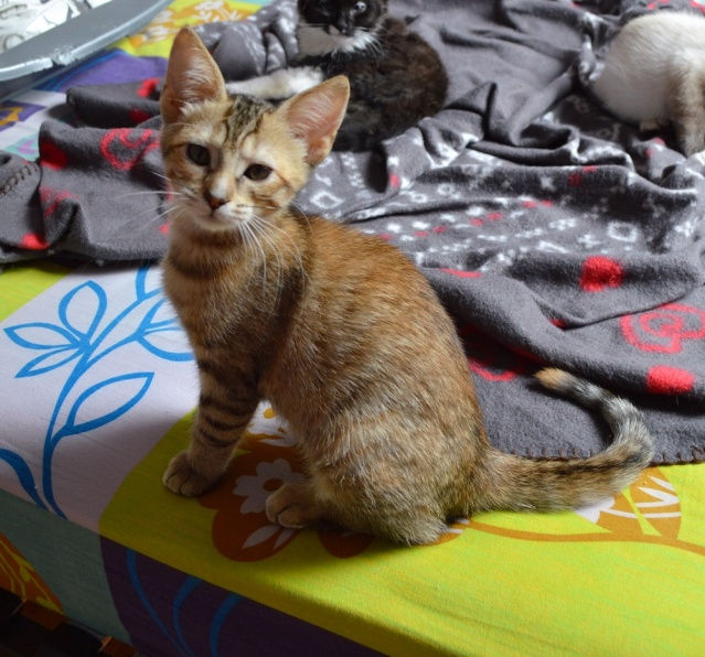 margotte - MARGOTTE, chatonne tigrée et rousse, née le 05.04.16 Dsc_0015