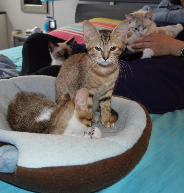 margotte - MARGOTTE, chatonne tigrée et rousse, née le 05.04.16 Dsc_0018
