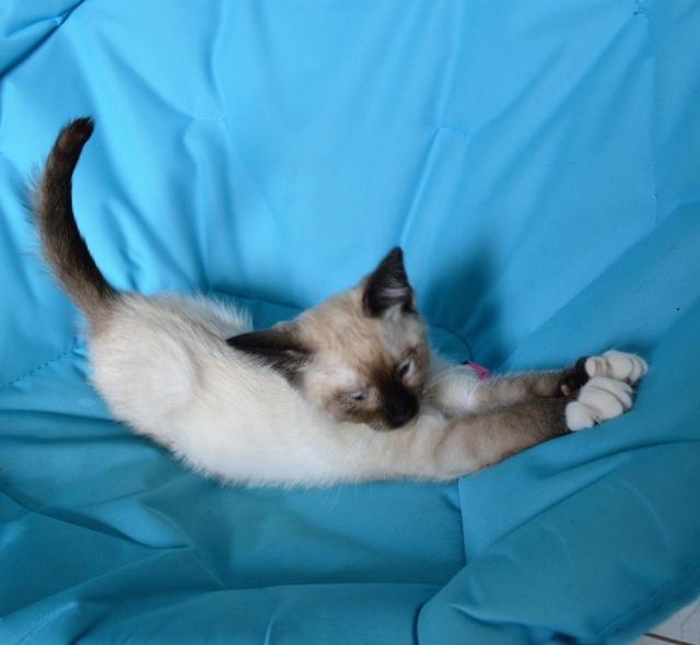 muesli - MUËSLI, chaton mâle croisé siamois, né le 05.04.16 Dsc_0027