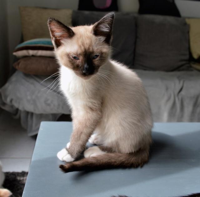 muesli - MUËSLI, chaton mâle croisé siamois, né le 05.04.16 Dsc_0028