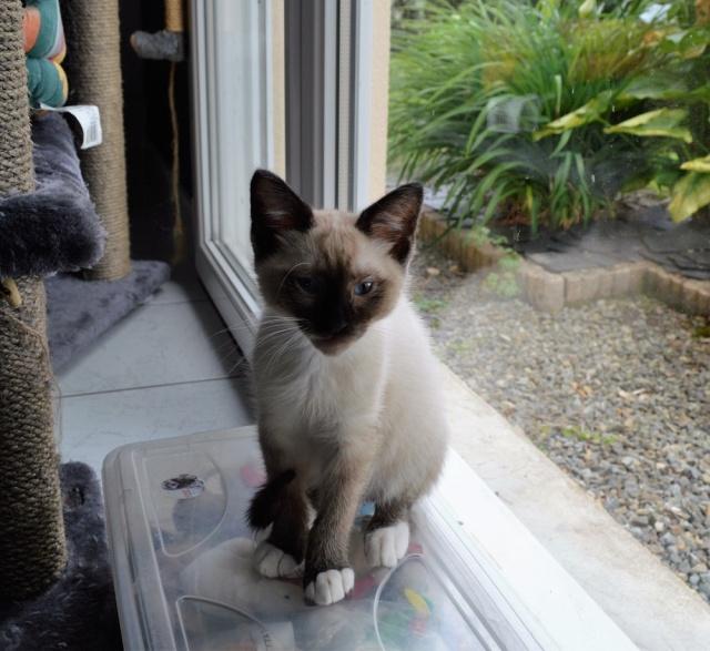 muesli - MUËSLI, chaton mâle croisé siamois, né le 05.04.16 Dsc_0029