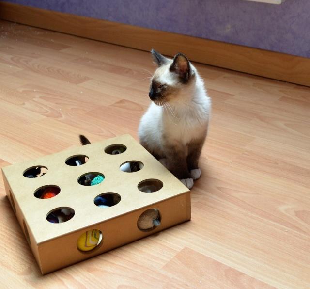 muesli - MUËSLI, chaton mâle croisé siamois, né le 05.04.16 Dsc_0030